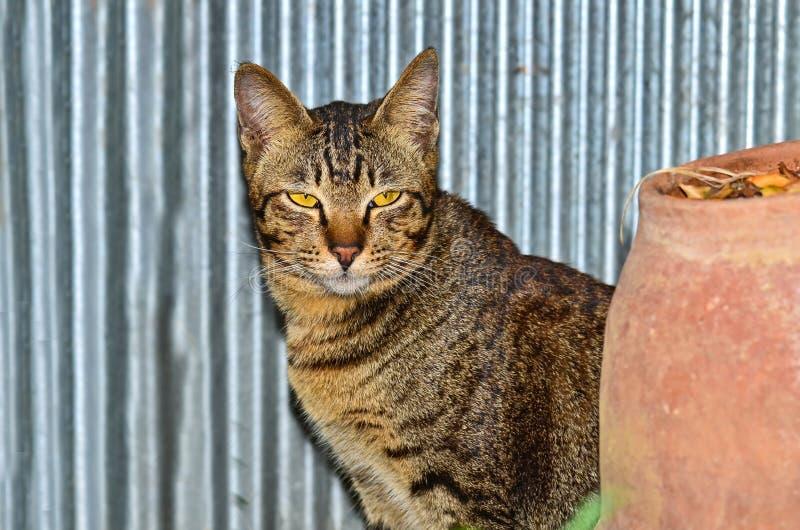 Όμορφη γάτα λεοπαρδάλεων της Βεγγάλης στοκ εικόνα με δικαίωμα ελεύθερης χρήσης