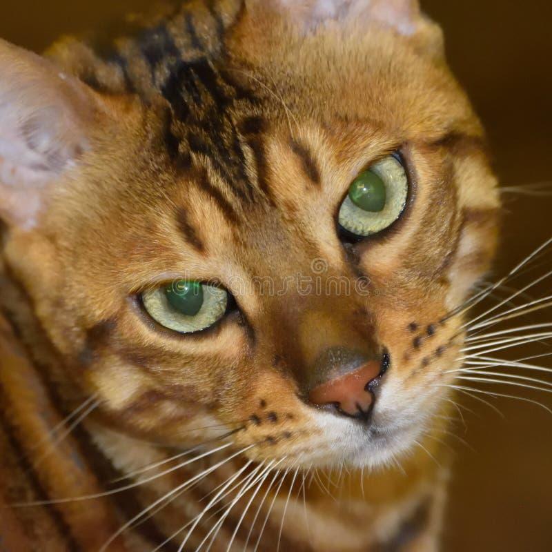 Όμορφη γάτα λεοπαρδάλεων στοκ φωτογραφίες