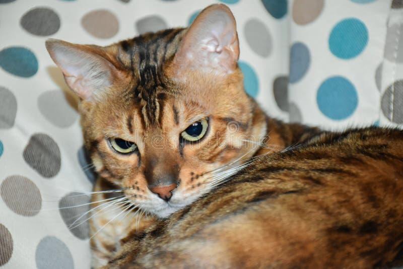 Όμορφη γάτα λεοπαρδάλεων στοκ εικόνα με δικαίωμα ελεύθερης χρήσης