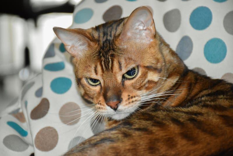 Όμορφη γάτα λεοπαρδάλεων στοκ φωτογραφίες με δικαίωμα ελεύθερης χρήσης