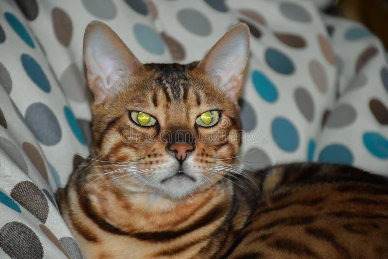 Όμορφη γάτα λεοπαρδάλεων στοκ φωτογραφία