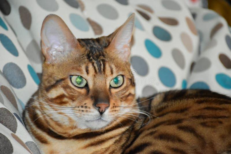 Όμορφη γάτα λεοπαρδάλεων στοκ φωτογραφία με δικαίωμα ελεύθερης χρήσης