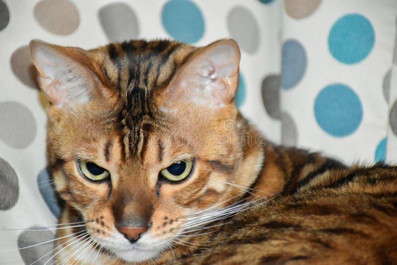 Όμορφη γάτα λεοπαρδάλεων στοκ εικόνες