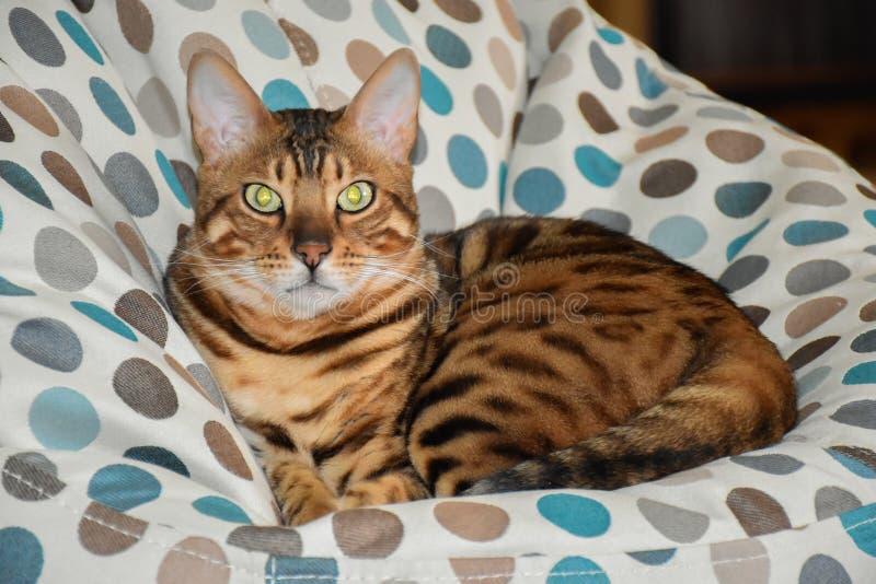 Όμορφη γάτα λεοπαρδάλεων στοκ εικόνες με δικαίωμα ελεύθερης χρήσης
