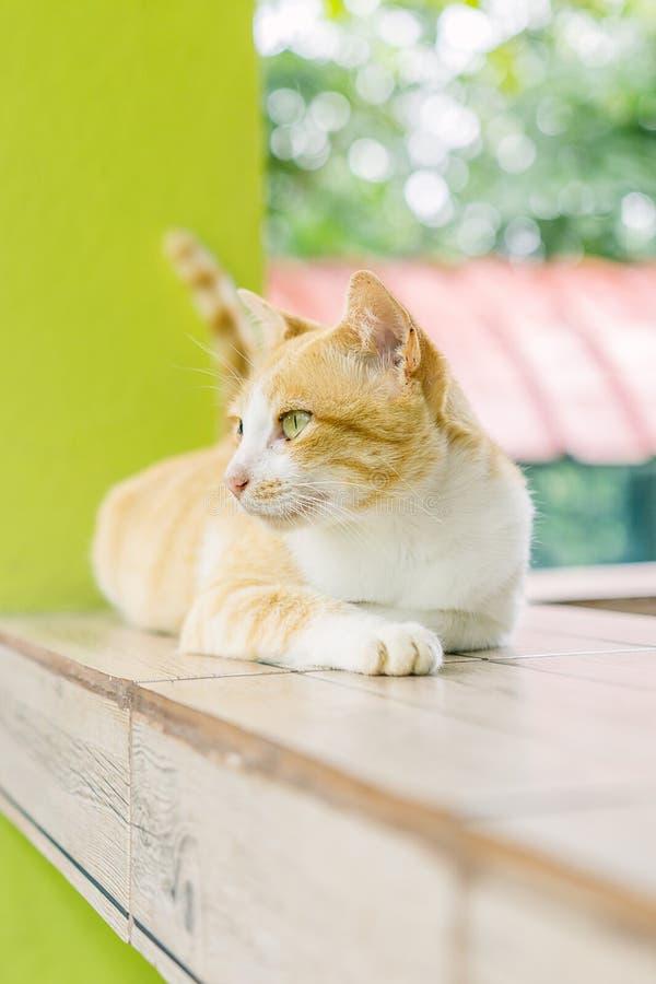 Όμορφη γάτα της Ασίας στοκ εικόνες