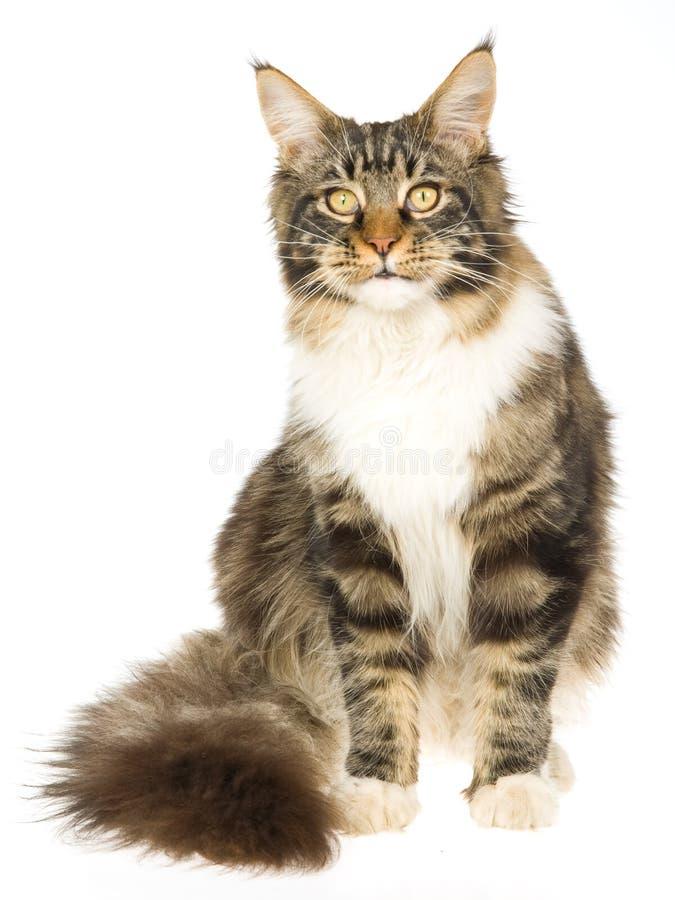 όμορφη γάτα Coon Maine Στοκ Φωτογραφίες