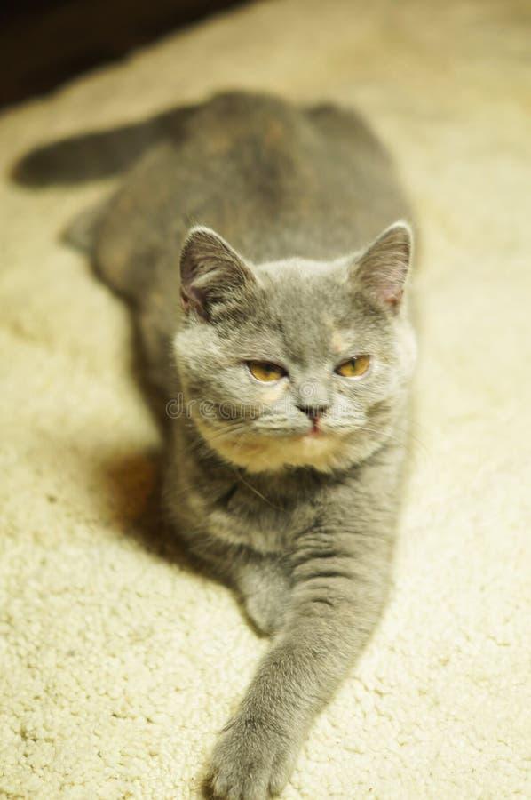 Όμορφη γκρίζα σκωτσέζικη γάτα με τα κίτρινα μάτια που βρίσκονται στον τάπητα στοκ φωτογραφία με δικαίωμα ελεύθερης χρήσης