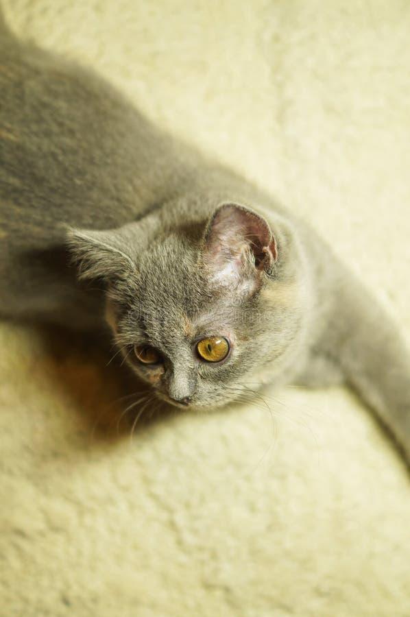 Όμορφη γκρίζα σκωτσέζικη γάτα με τα κίτρινα μάτια που βρίσκονται στον τάπητα στοκ φωτογραφίες με δικαίωμα ελεύθερης χρήσης