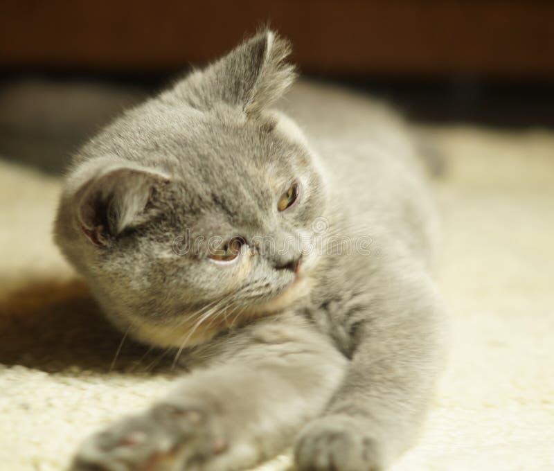 Όμορφη γκρίζα σκωτσέζικη γάτα με τα κίτρινα μάτια που βρίσκονται στον τάπητα στοκ εικόνες
