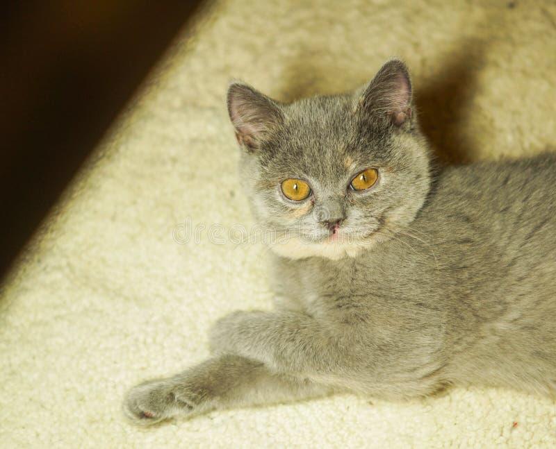 Όμορφη γκρίζα σκωτσέζικη γάτα με τα κίτρινα μάτια που βρίσκονται στον τάπητα στοκ εικόνα με δικαίωμα ελεύθερης χρήσης