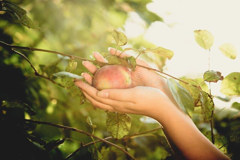 Όμορφη γυναίκα που επιλέγει το κόκκινο μήλο από το δέντρο στοκ φωτογραφία