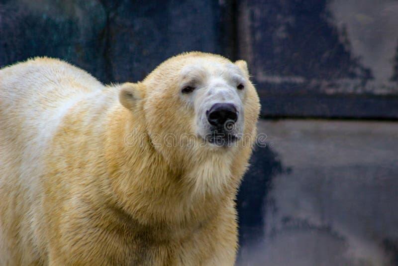 Όμορφη εικόνα κινηματογραφήσεων σε πρώτο πλάνο της λευκιάς πολικής αρκούδας στοκ φωτογραφία