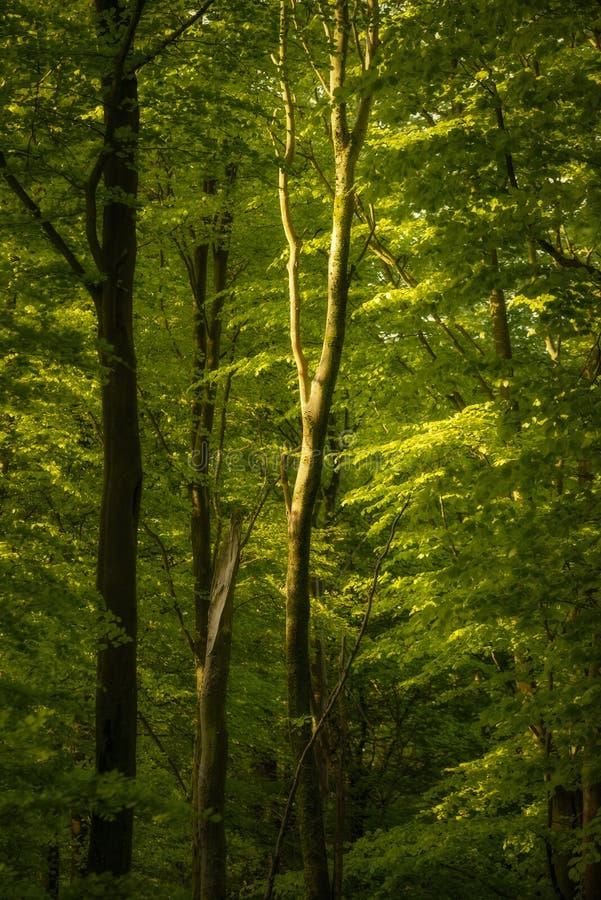 Όμορφη εικόνα τοπίων ανοίξεων του δάσους των δέντρων οξιών με το διάστικτο φως του ήλιου που δημιουργεί τα επίκεντρα στα δέντρα σ στοκ φωτογραφία με δικαίωμα ελεύθερης χρήσης