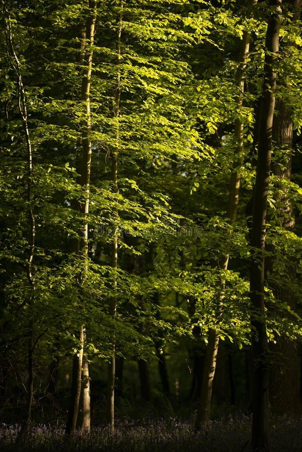 Όμορφη εικόνα τοπίων ανοίξεων του δάσους των δέντρων οξιών με το διάστικτο φως του ήλιου που δημιουργεί τα επίκεντρα στα δέντρα σ στοκ φωτογραφίες με δικαίωμα ελεύθερης χρήσης