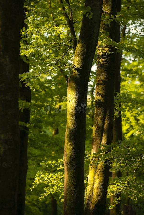 Όμορφη εικόνα τοπίων ανοίξεων του δάσους των δέντρων οξιών με το διάστικτο φως του ήλιου που δημιουργεί τα επίκεντρα στα δέντρα σ στοκ εικόνα