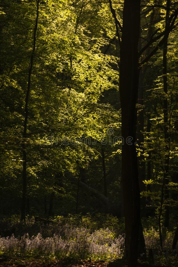 Όμορφη εικόνα τοπίων ανοίξεων του δάσους των δέντρων οξιών με το διάστικτο φως του ήλιου που δημιουργεί τα επίκεντρα στα δέντρα σ στοκ φωτογραφία