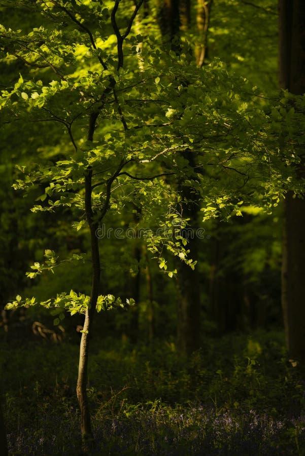 Όμορφη εικόνα τοπίων ανοίξεων του δάσους των δέντρων οξιών με το διάστικτο φως του ήλιου που δημιουργεί τα επίκεντρα στα δέντρα σ στοκ φωτογραφίες