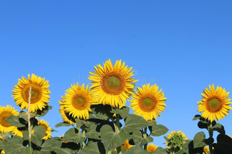 Όμορφη εικόνα των ηλίανθων και της ενυδάτωσης επάνω του ήλιου στον τομέα στοκ εικόνα