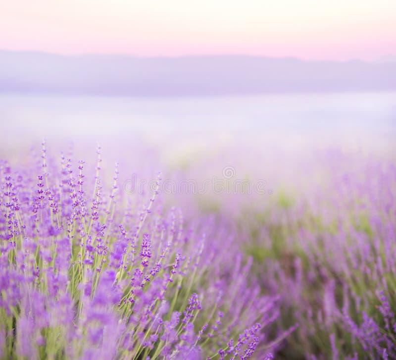 Όμορφη εικόνα lavender στοκ φωτογραφίες με δικαίωμα ελεύθερης χρήσης