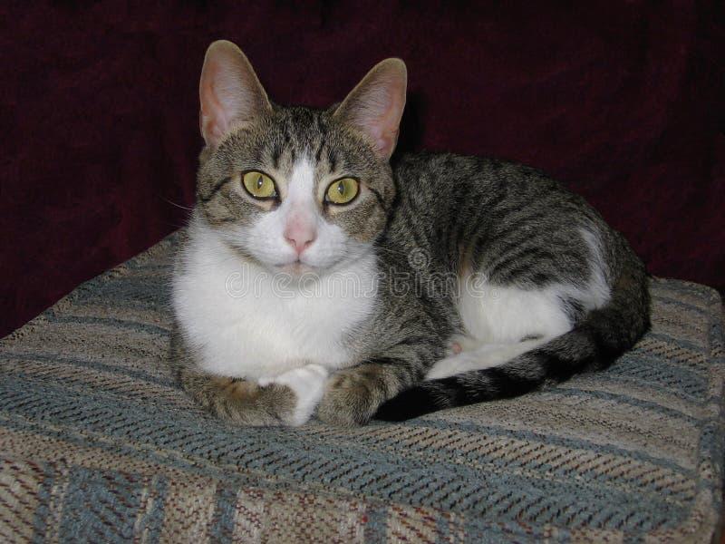 Όμορφη εσωτερική τιγρέ γάτα, με τα μεγάλα πράσινα μάτια, που χαλαρώνουν στις φωτογραφίες καρέκλα-αποθεμάτων στοκ φωτογραφίες