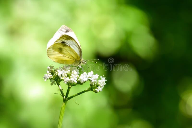 Όμορφη ευρωπαϊκή μεγάλη πεταλούδα λευκού λάχανων στοκ εικόνες