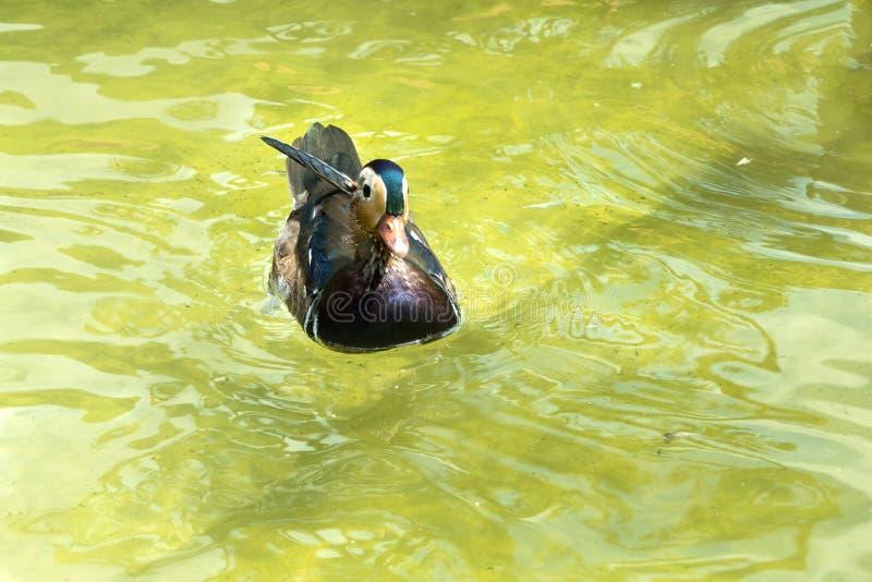 Όμορφη ζωηρόχρωμη πάπια στο νερό στοκ φωτογραφία με δικαίωμα ελεύθερης χρήσης