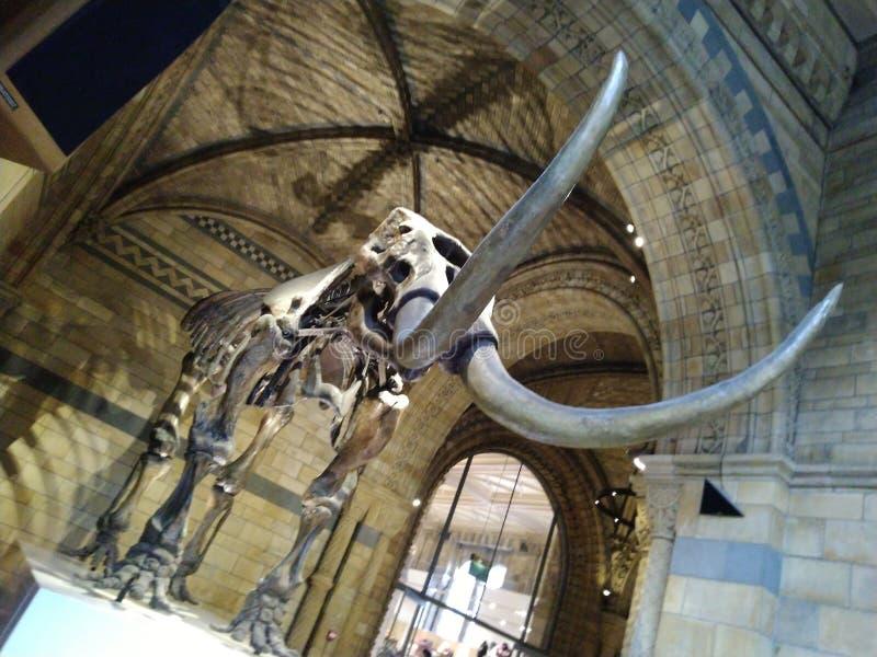 Όμορφη ημέρα Ηνωμένο Βασίλειο μουσείων σκελετών ελεφάντων, στοκ φωτογραφία με δικαίωμα ελεύθερης χρήσης