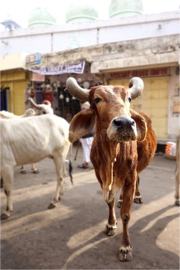 Όμορφη ιερή αγελάδα με τα μεγάλα κέρατα στοκ εικόνες