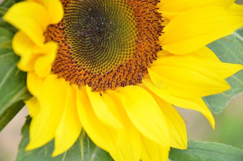 Όμορφη κίτρινη άνθιση ηλίανθων στοκ εικόνες