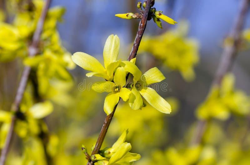 Όμορφη κίτρινη άνθιση των συνόρων Forsythia στοκ φωτογραφίες