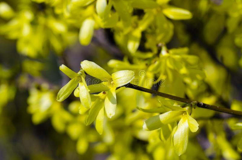 Όμορφη κίτρινη άνθιση των συνόρων Forsythia στοκ φωτογραφία με δικαίωμα ελεύθερης χρήσης