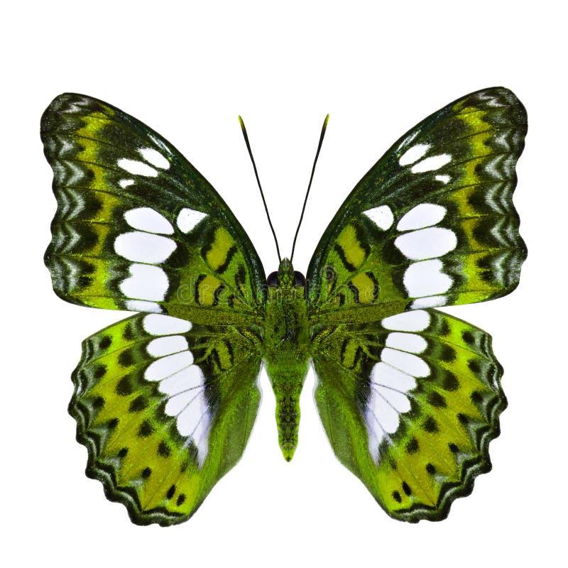 Όμορφη κίτρινη πεταλούδα, τα κοινά Η.Ε διοικητών (procris moduza) στοκ φωτογραφίες