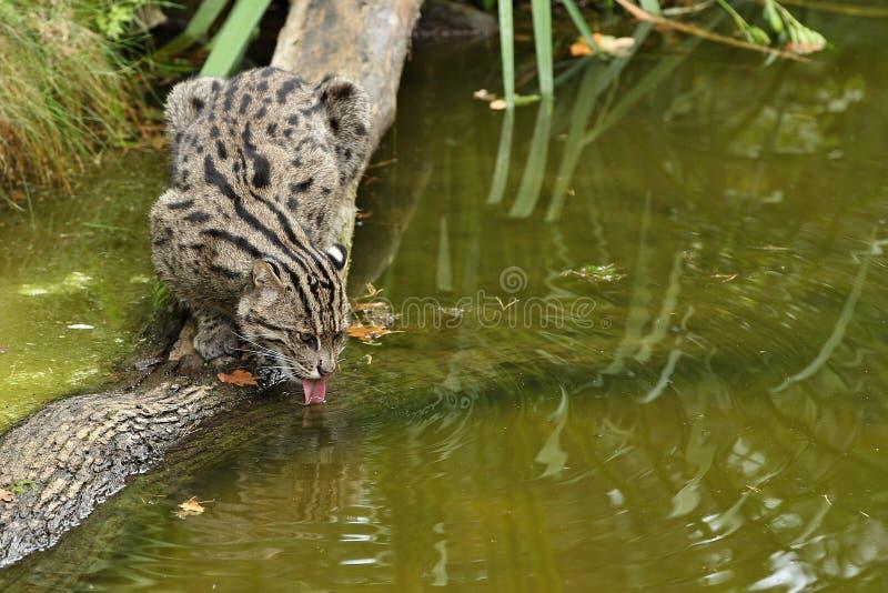 Όμορφη και αόριστη γάτα αλιείας στο κοντινό νερό βιότοπων φύσης στοκ εικόνες