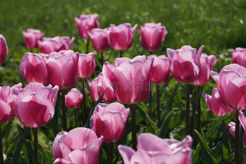 Όμορφη και μαγική μακροεντολή λουλουδιών και φύλλων ανοίξεων ρόδινη στοκ φωτογραφία με δικαίωμα ελεύθερης χρήσης