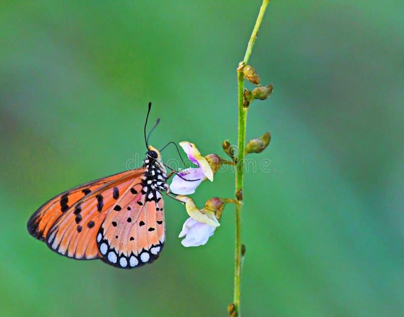 Όμορφη καστανόξανθη πορτοκαλιά πεταλούδα Coster που παίρνει το νέκταρ από ένα μικρό λουλούδι στοκ εικόνα με δικαίωμα ελεύθερης χρήσης