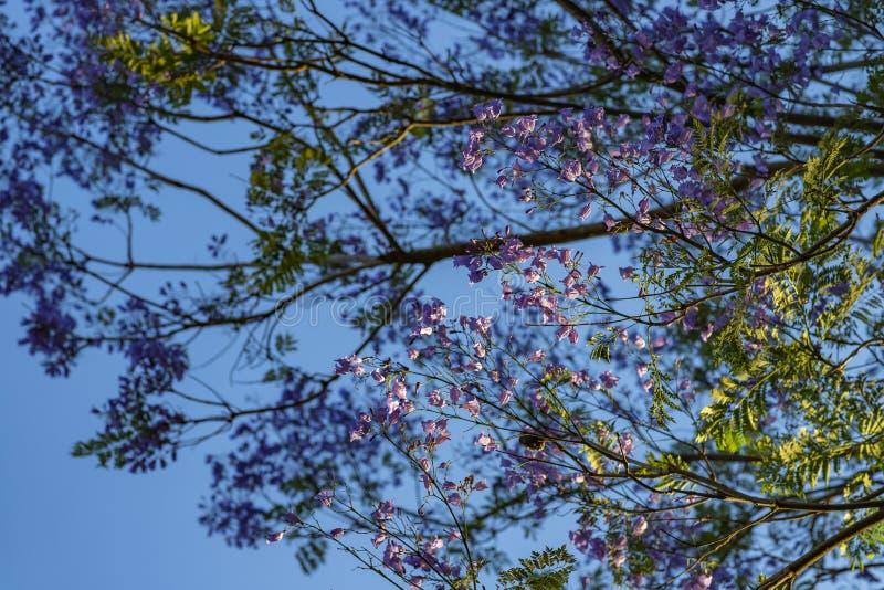 Όμορφη κατώτατη άποψη του πορφυρού δέντρου την ηλιόλουστη ημέρα με το μπλε ουρανό στο υπόβαθρο στοκ εικόνα