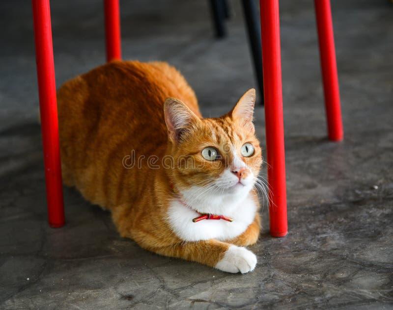 Όμορφη καφετιά γάτα που βρίσκεται στο πάτωμα στο σπίτι στοκ εικόνες