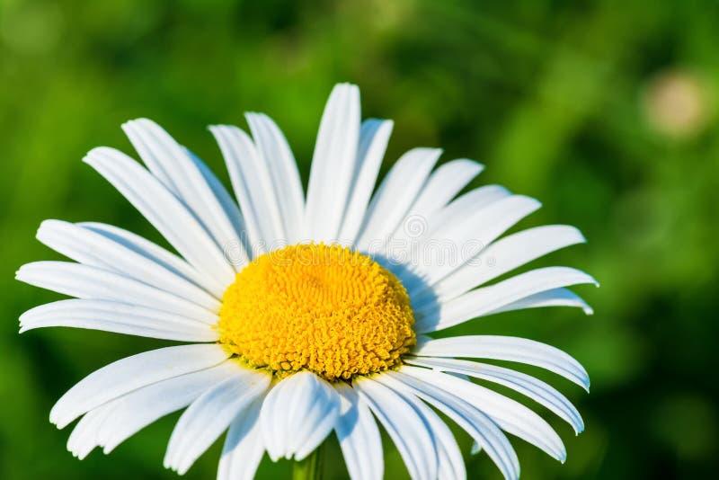 Όμορφη κινηματογράφηση σε πρώτο πλάνο του λουλουδιού μαργαριτών στον ήλιο Leucanthemum στοκ φωτογραφίες