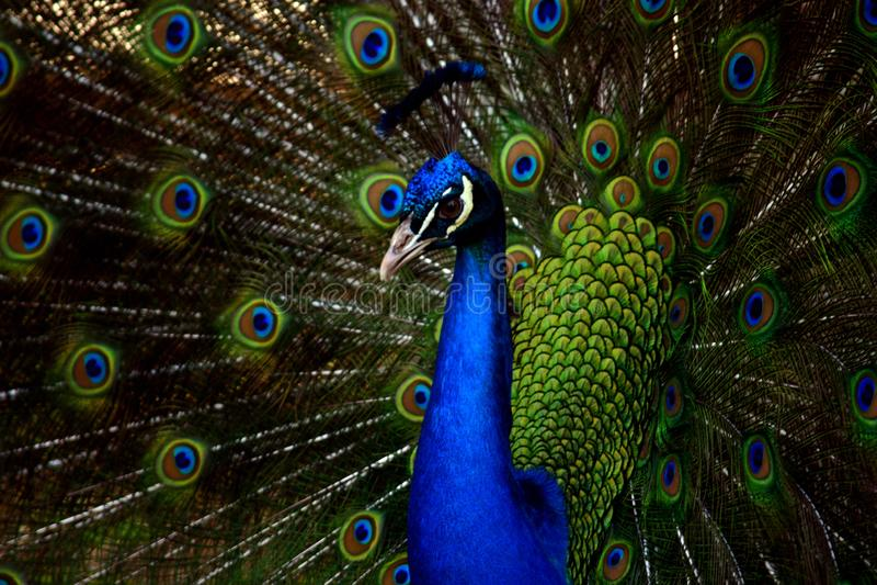 Όμορφη κινηματογράφηση σε πρώτο πλάνο Peacock με τα ανοικτά φτερά στοκ εικόνα