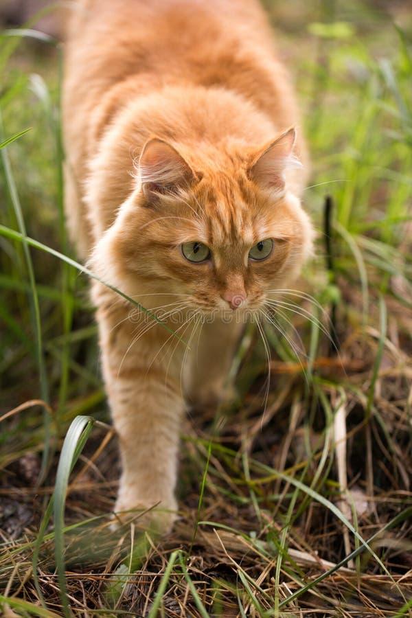 Όμορφη κόκκινη γάτα στη χλόη στοκ φωτογραφία