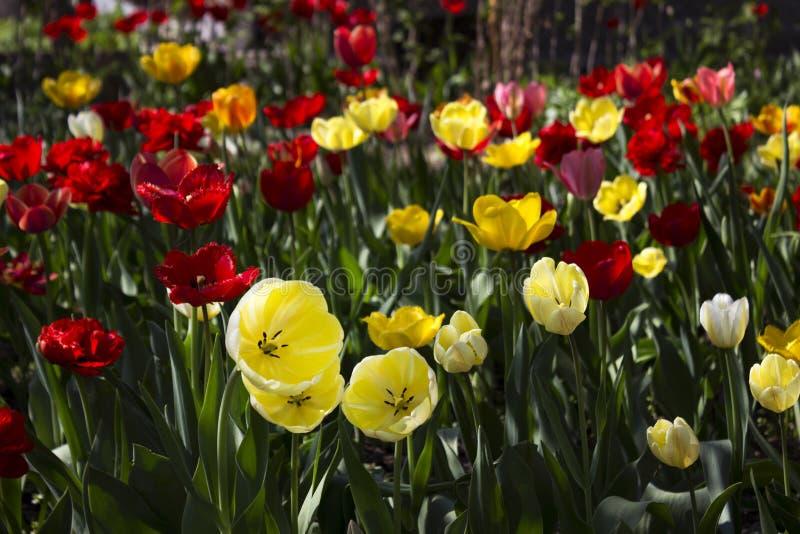 Όμορφη κόκκινη και κίτρινη άνθιση τουλιπών στον κήπο έξυπνο στοκ εικόνα με δικαίωμα ελεύθερης χρήσης