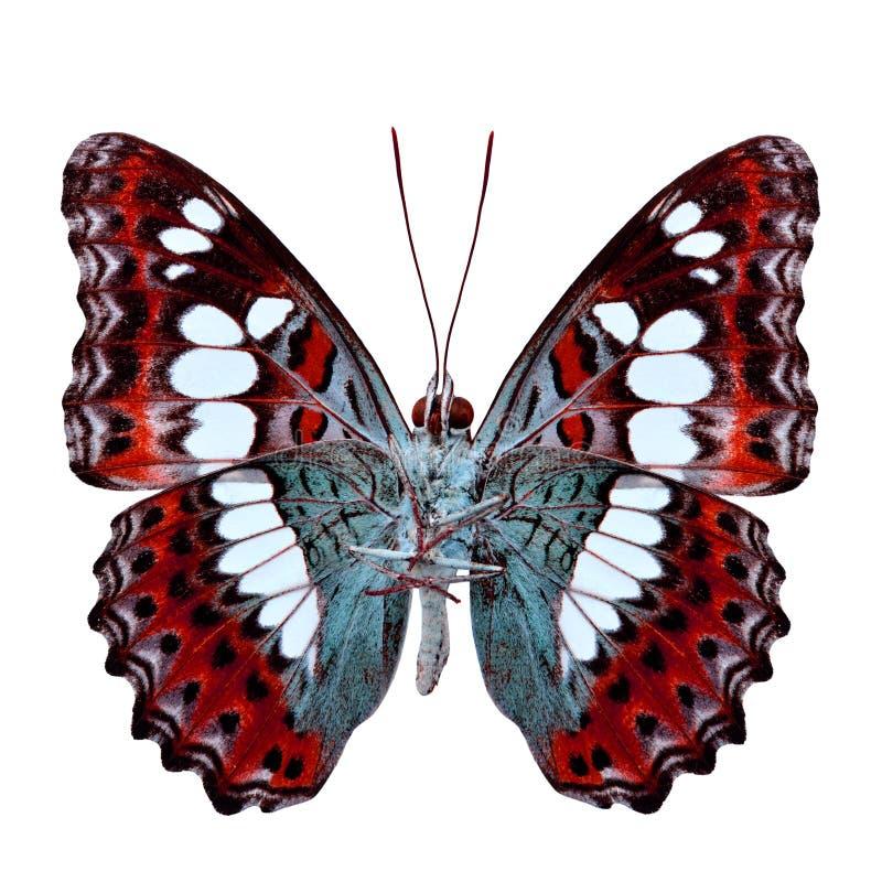 Όμορφη κόκκινη πεταλούδα, κοινός διοικητής (procris moduza) κάτω στοκ εικόνες με δικαίωμα ελεύθερης χρήσης