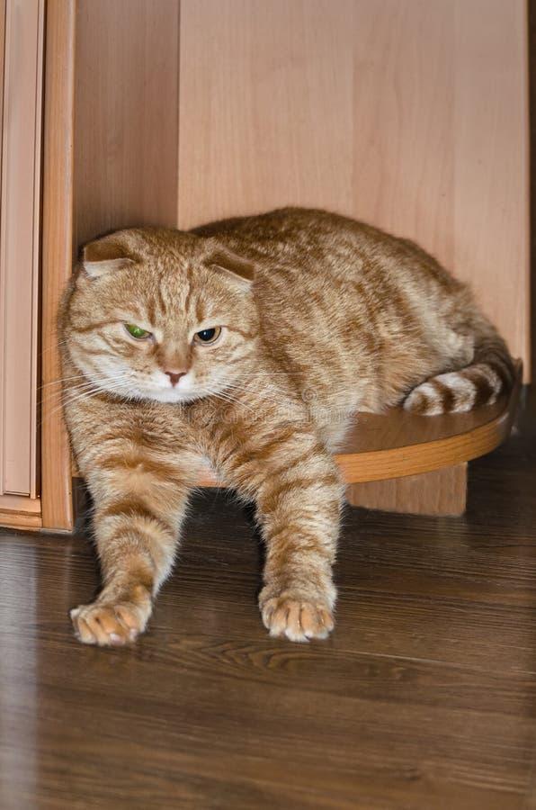 Όμορφη κόκκινη σκωτσέζικη γάτα πτυχών που στηρίζεται στη γωνία του ημικυκλικού κατώτατου ραφιού του γραφείου στοκ εικόνες