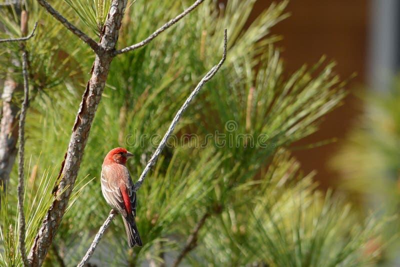 Όμορφη κόκκινη συνεδρίαση πουλιών στον κλάδο δέντρων πεύκων στοκ εικόνες