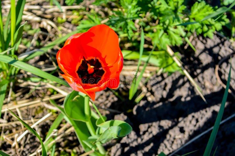 Όμορφη κόκκινη τουλίπα Tulipa, υβριδική κόκκινη τουλίπα Δαρβίνου στον κήπο στοκ φωτογραφία με δικαίωμα ελεύθερης χρήσης