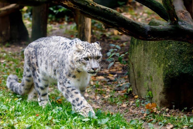 Όμορφη λεοπάρδαλη χιονιού γατών, uncia Uncia στοκ φωτογραφία με δικαίωμα ελεύθερης χρήσης