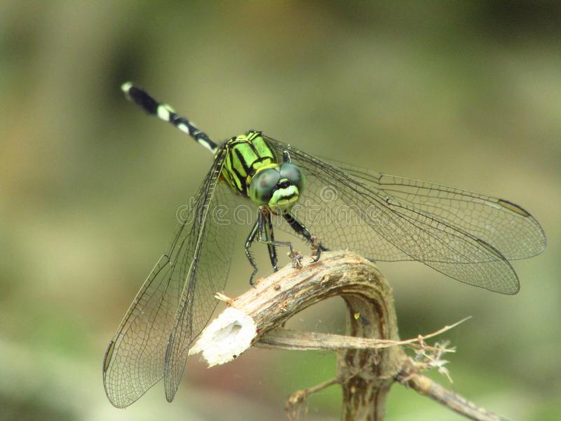 Όμορφη λεπτομερής εικόνα μιας πράσινης λιβελλούλης που σκαρφαλώνει στον κλάδο του δέντρου στοκ φωτογραφία