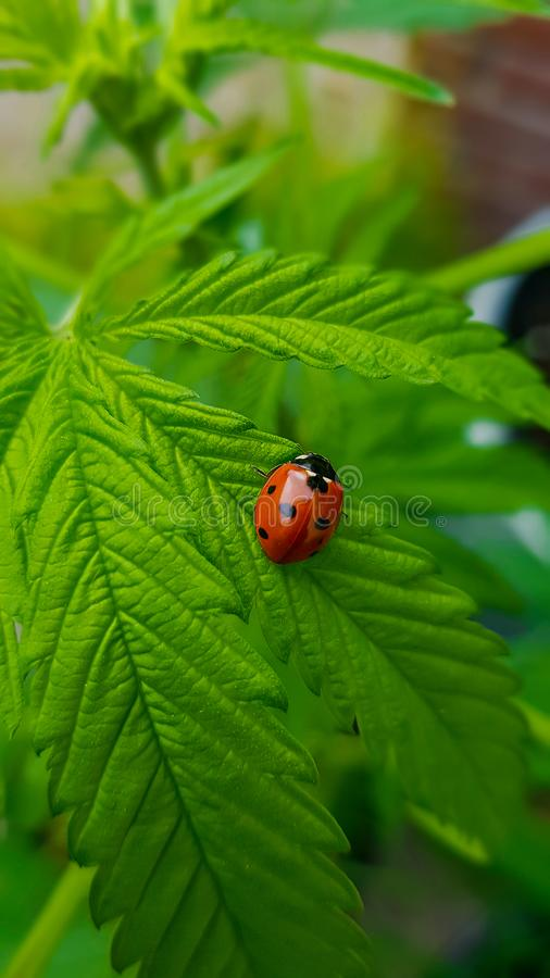 Όμορφη μακροεντολή ladybug που αντιπαραβάλλει με το μεγάλο, πράσινο φύλλο καννάβεων στοκ εικόνες