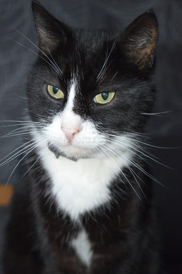 όμορφη μαύρη γάτα με λίγο άσπρο στοκ εικόνα