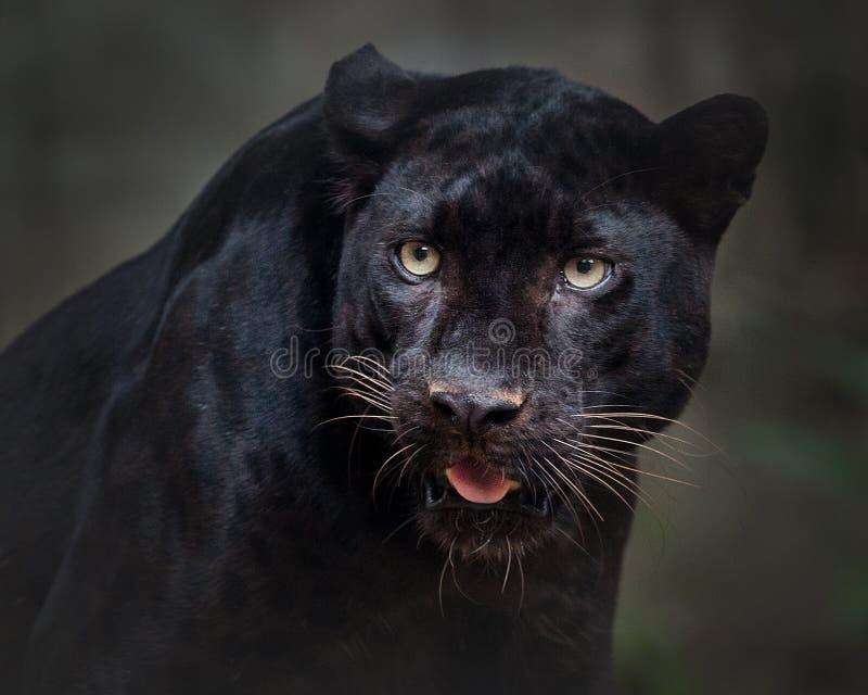 Όμορφη μαύρη εικόνα πάνθηρων στοκ φωτογραφίες